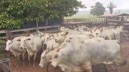 Campanha de vacinação contra Aftosa deve imunizar amis de 400 mil animais em Cacoal
