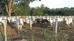 Criadores de MS se preparam para vacinação contra febre aftosa durante retirada de gado