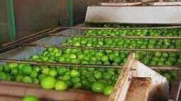 Produção de limão taiti em Neópolis conquista reconhecimento internacional