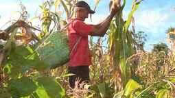 Comunidade Santa Cruz é destaque no cultivo de milho