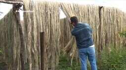 Parte 1: No AM, agricultores que cultivam juta e malva comemoram boa safra