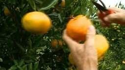 Safra de tangerina em Conceição do Castelo, ES, deve ser maior que em 2017