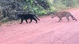 Vídeo flagra onça-preta e onça-pintada em estrada no Pará