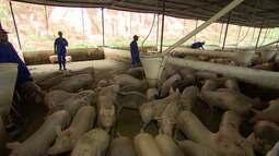 Conheça a maior granja de suínos da Bahia, que emprega 600 pessoas em Simões Filho