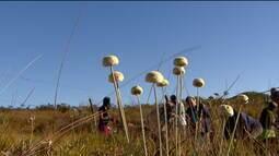 Cultivo das 'sempre-vivas' pode se tornar primeiro patrimônio agrícola mundial brasileiro