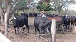 Confira a vaca ganhandora da competição de leite na Expomontes