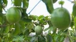 Parte 3: Embrapa incentiva cultivo de maracujá em Boa Vista