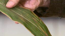 Entenda a nova doença chamada estria bacteriana que preocupa produtores de milho
