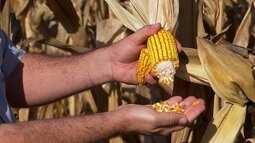 Safrinha do milho sente efeitos da estiagem