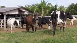 Parte 2: Projeto promete aumentar bacia leiteira de pequenos produtores de Vilhena, em RO