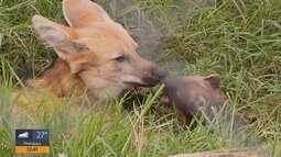 Participe e envie sua sugestão de nome para o filhote de lobo do Zoo de Varginha (MG)