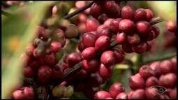Comunidade em Itarana, ES, tem café conilon que atingiu 90 pontos em concurso de qualidade