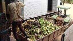 Bananicultura do projeto Jaíba passa por crise