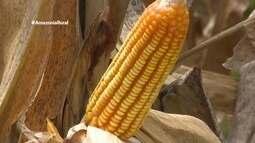 Parte 2: Em Roraima, comunidades indígenas fazem primeira colheita de milho