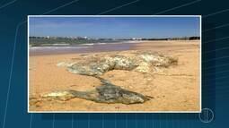 Carcaça de baleia é encontrada na Praia da Barra, em Macaé, no RJ