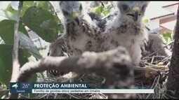 Casal de gaviões assusta moradores e calçada é interditada pela Defesa Civil, em Limeira
