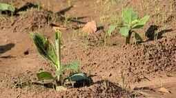 Mudas sadias são o primeiro passo para o sucesso do bananal