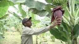 Comunidade quilombola do Vale do Aço investe no cultivo de bananas e maracujás