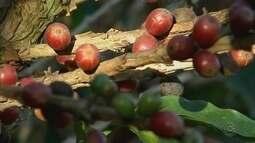 Produção de café aumenta 30% na região de Avaré, mas preço da saca diminui