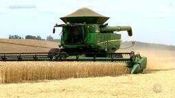 Colheita do trigo está chegando ao final e produtores encontram problemas