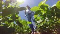 Mais de 60% da área de plantação de soja foi cultivada no estado