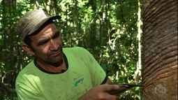 Seringueiros ganham mais por borracha ecológica, no Acre.