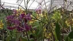 Produtores de Novo Horizonte investem em criação de orquídeas como fonte de renda