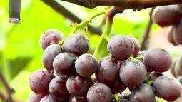 Excesso de chuva prejudica produção de uva no Pontal do Triângulo