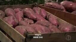 Conheça uma produção de batata doce em São João da Barra, no RJ