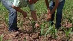 Produtores rurais do Norte de Minas esperam boa safra com a chegada da chuva