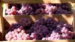 Qualidade da uva anima produtores de Porto Feliz