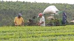 Produtores investem no cultivo de chás