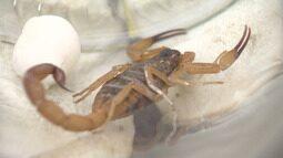 Moradores têm encontrado escorpiões em andares altos de prédios em Taubaté
