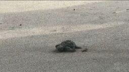 Mais de 40 tartarugas nascem na praia do Bessa, em João Pessoa, após 'cesariana de areia'
