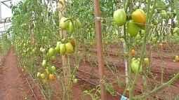 Produção menor deixa o tomate mais caro em MT