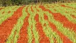 Produtores aguardam melhora na colheita do alho em relação a 2018, em Catalão
