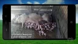 Leitoa dá à luz 15 filhotes em fazenda da Cidade de Goiás