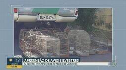 Polícia Ambiental apreende aves silvestres em uma casa em Charqueada