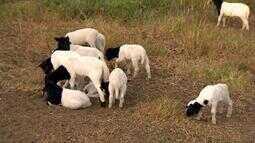 Evento sobre ovinocultura capacita estudantes e produtores na Zona da Mata