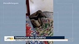 Após entrar pela porta da frente, tamanduá-bandeira é resgatado em casa de Aruanã