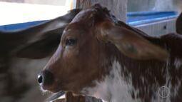 Inseminação artificial está aumentando a produção de leite em distrito de Campos, no RJ