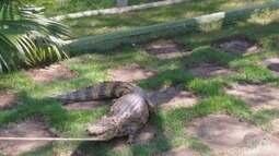 Cliente pisou em rabo de jacaré antes de animal ser capturado em Carmo do Rio Claro
