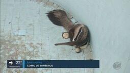 Tamanduá-bandeira é resgatado de dentro de piscina vazia em Campestre