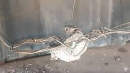 Comerciante monitorou ninho de beija-flor construído na fiação de um caminhão