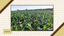 Saiba qual é a previsão do tempo para o plantio do milho