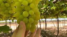 Novo tipo de uva de mesa é desenvolvido para produção na região nordeste do Brasil