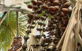 Frutos guardam a riqueza da biodiversidade do cerrado