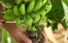Especialista dá orientações sobre o cultivo de banana