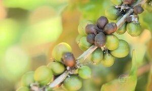 Seca na Região Sudeste atinge as plantações de café no Espírito Santo