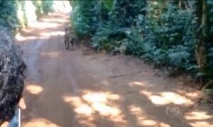 Onças passeiam pelas Cataratas do Iguaçu e viram atração para os turistas